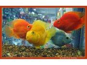 Попугай оранжевый ,  желтый ,  красный+ПОДАРОК 1 РЫБКА!!!!