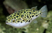 Тетрадон зеленый (рыбки)