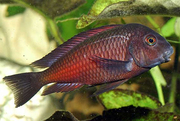трофеус молеро рыбки