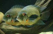 Уару (рыбки)