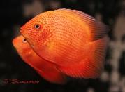 Северум красный жемчуг (рыбки)