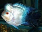 фловернхорн баллон берюзовый + 1 рыбка в подарок!