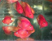 Цихлида попугай красный+ 1 рыбка в подарок )