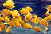 Цихлида попугай жёлтый + 1 рыбка в подарок )
