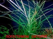 Погестемон октопус и др растения --- НАБОРЫ растений для запуска