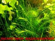 Лагарасифон мадагаскарский  - НАБОРЫ растений для запуска-