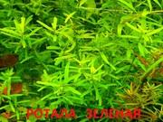 Ротала зеленая и др. растения ------- НАБОРЫ растений для запуска-