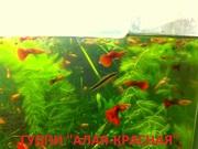 КРАСНАЯ -- АЛАЯ -- гуппи --- чистая линия. аквариумные РЫБЫ