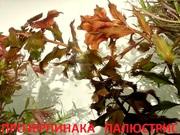 Прозерпинака палюстрис растения --- НАБОРЫ растений для запуска---