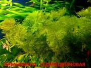 Лимнофила седячецветковая  -- НАБОРЫ растений для запуска---