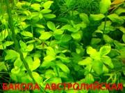 Бакопа австролийская и  растения ----  НАБОРЫ растений для запуска----