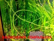 Валиснерия спиральная  растения ---- НАБОРЫ растений для запуска-----