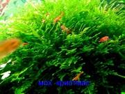 Мох крисмас - НАБОРЫ растений для запуска акваса