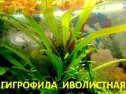 Гигрофила иволистная - НАБОРЫ растений для запуска акваса--