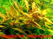 Людвигия гибридная и др. растения -- НАБОРЫ растений для запуска==