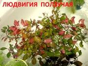 Людвигия ползучая и др. растения -- НАБОРЫ растений для запуска---