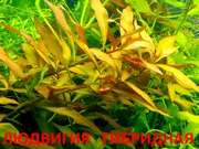 Людвигия гибридная и др. растения -- НАБОРЫ растений для запуска===
