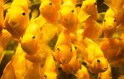 цихлазома попугай жёлтый